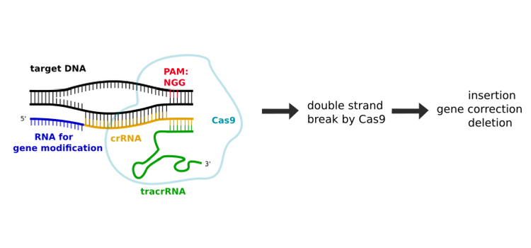Crisp cas9 mode of action